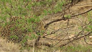 Leopard Outsmarts Hyena To Climb Up A Tree - Video