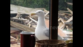 Seagull knocks on window for food every day