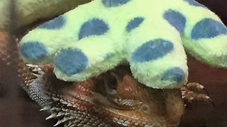One Eyed Bearded Dragon Dino!  - Video
