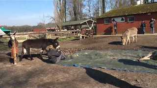 Heartbroken Donkeys Mourn Death of Friend - Video