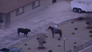 Bull on the loose in Las Vegas on Valentine's Day - Video