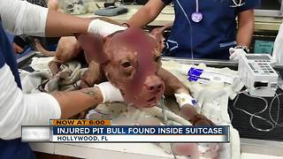 Stabbed pitbull found in suitcase - Video