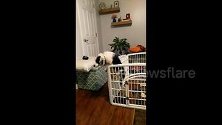 Determined dog escapes playpen at Maine home