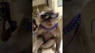 Cute Monkey is Ready for Mardi Gras - Video