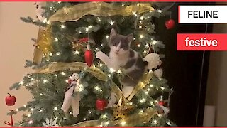Traditional festive rivalry between cat and Christmas tree is very much alive and well