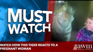 Watch How this Tiger Reacts to a Pregnant Woman - Video
