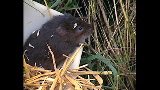 Cute Water Voles In Danger - Video
