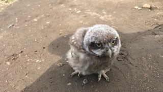 Baby pet owl goes for a walk - Video