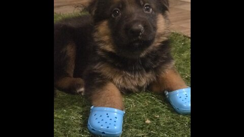 Puppy training to become a service dog learns to fetch tissues