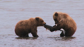 Wildlife Group Will Name Salmon After Your Ex Before Feeding It to Bears