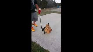 Capuchin monkey loves to play basketball - Video