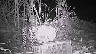 Three Leopard Cubs Reunited With Missing Mother In Heartwarming Video - Video