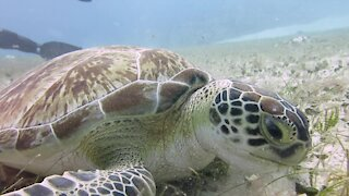 Rare & endangered sea turtle munches on seafloor grass