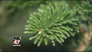 Live Christmas trees can have an impact on your allergies - Video