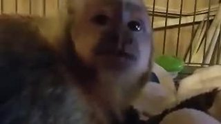 Guilty monkey denies ripping up stuffed animal - Video