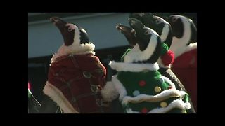 Penguins Become Elves - Video