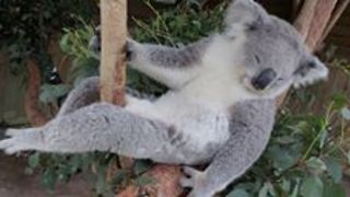 These Koalas Know How to Chill Out - Video