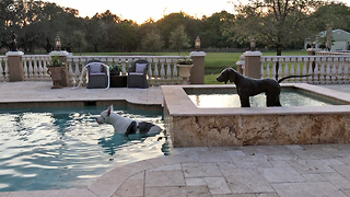Max the Great Dane enjoys dipping and sipping in the pool  - Video