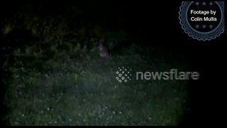 Wallaby on the loose in Cornwall, UK - Video