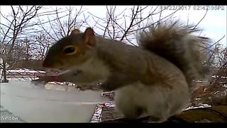Squirrel learns to exchange goods with human - Video