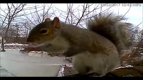 Squirrel learns to exchange goods with human