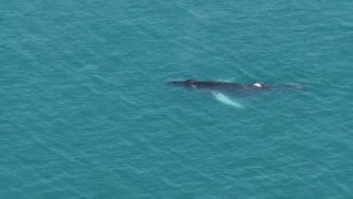 Humpback Whale Off The Coast of Devon Surprises Onlookers - Video