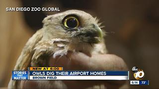 Owls dig their airport homes - Video