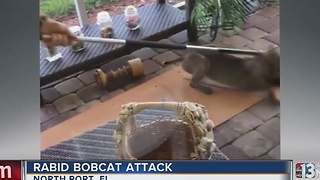 Rabid bobcat attacks at Florida home - Video