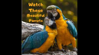 watch these beautiful parrots