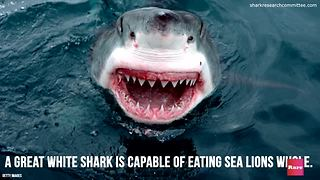 Eating Habits of the Great White Shark
