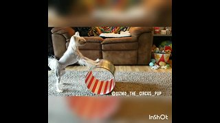 Talented doggy rolls circus barrel on two legs