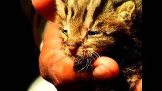 Leopard Cat Cubs Rescued From Floods - Video