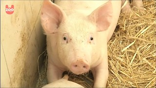 Pigs listening to Mozart - Video