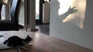 Cat Tries Chasing Shadows on a Wall - Video