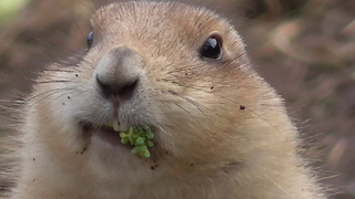 Funny prairie dog really enjoys his broccoli - Video