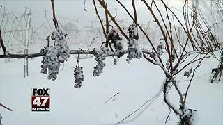 Freezing temps make for good ice wine - Video