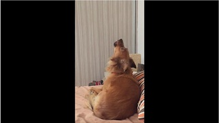 Dog Howls Along To Snooze Melody - Video