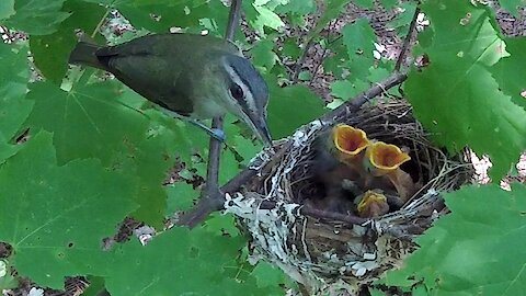 Devoted mother bird feeds her nest of newborn babies