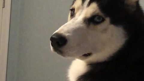 Husky literally cries tears when owner leaves home
