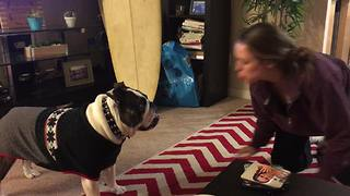 Bulldog in sweater doesn't like fart noises!