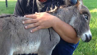 This Newborn Donkey Asks For Hugs In The Cutest Way - Video