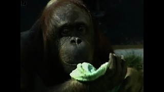 Orangutang Does Housework - Video
