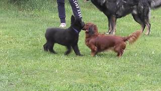 Puppy meets Dachshund, adorable playtime ensues - Video