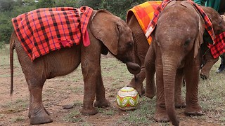 Cute Baby Elephants Play Football With Keepers In Orphanage - Video