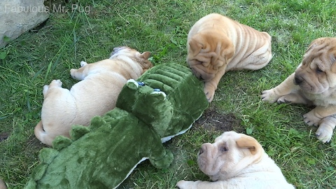 Shar Pei puppies adorably play with new stuffed animal