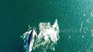 Whales breaching off the Australian coast - Video