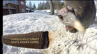 Curious wild turkey spots hidden GoPro - Video