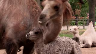 Baby camel takes very first steps - Video