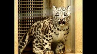 Baby Snow Leopard - Video