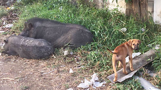 Homeless Puppy Living Among Pigs In Thailand Gets The Chance Of A Lifetime - Video